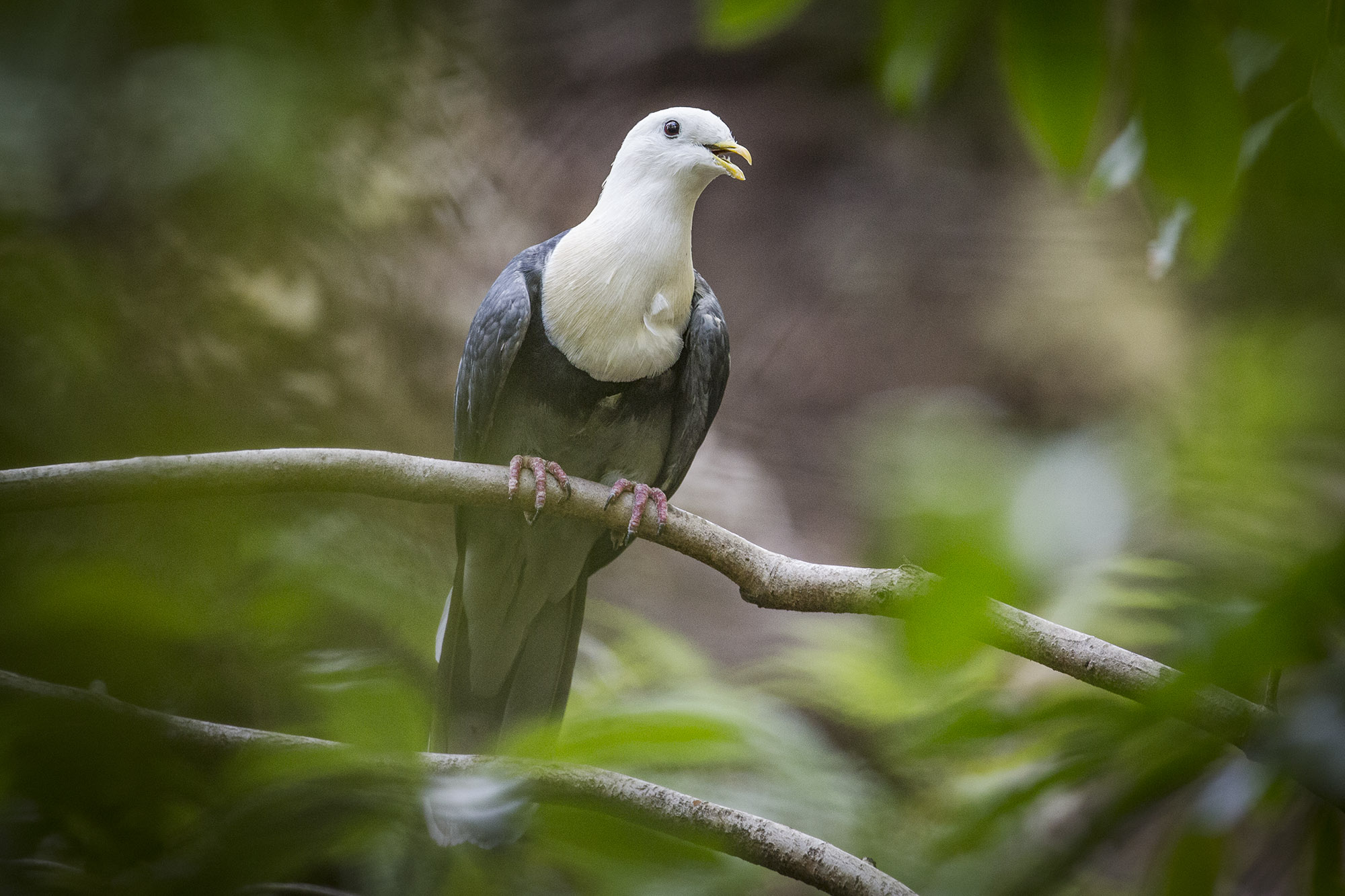 Banded Fruit Dove